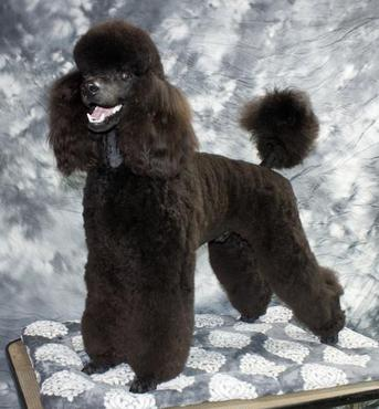 Tri Star Standard Poodles Northern California